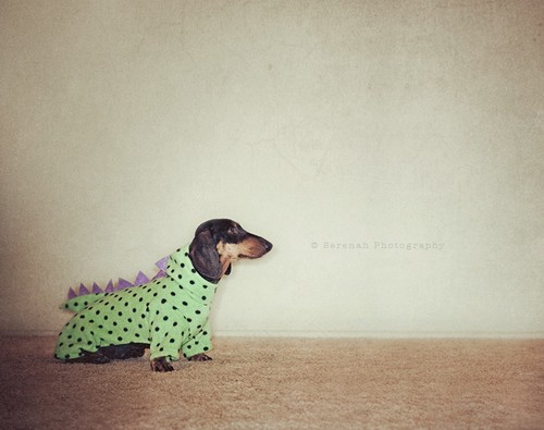 sausage dog in a onesie