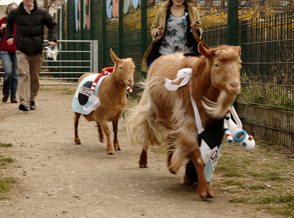 goat race london
