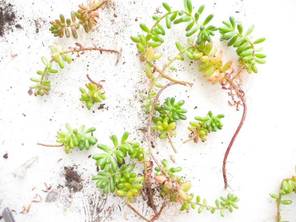 ohnorachio succulent how to